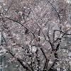 定点観測、今年の桜